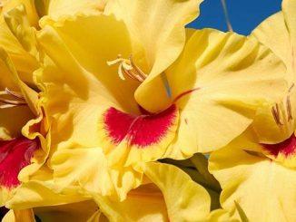 გლადიოლუსი, ყვავილები, ხმალა