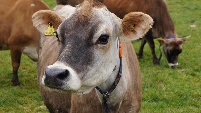 ძროხა, ჯიში, ჯერსი