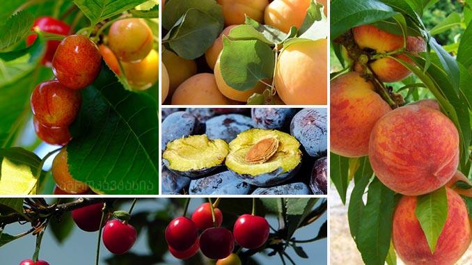 კურკოვანი, ხეხილი, ხილი