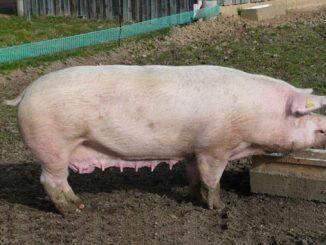 ღორი, ლანდრასი
