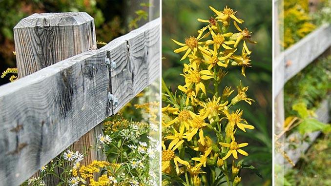ჩვეულებრივი ოქროწკეპლა - სამკურნალო მცენარე, რეცეპტები
