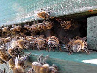 საფუტრკე, ფუტკარი, შემოდგომა