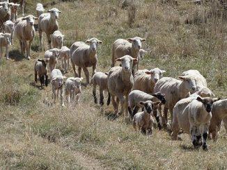 ცხვარი, ბატკანი