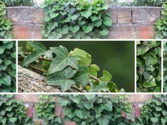 სურო, კავკასიური, სამკურნალო, მცენარე