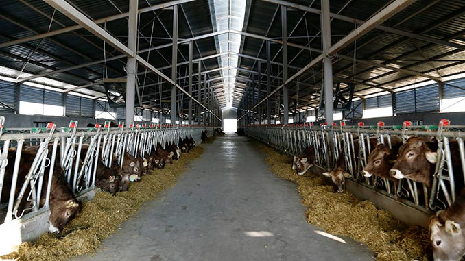 ფერმა, მესაქონლეობა, ძროხა