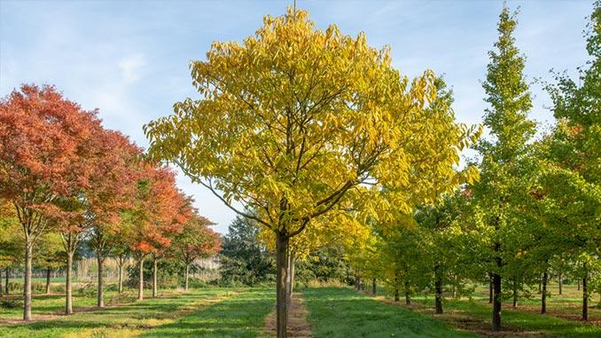 ქაღალდის, ხე, ბრუსონეცია