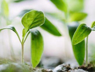 თესვა, ჯანმრთელი, მცენარე