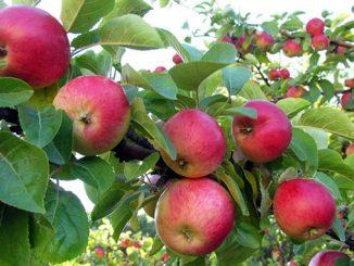 ვაშლი, ბაღი, გარემო