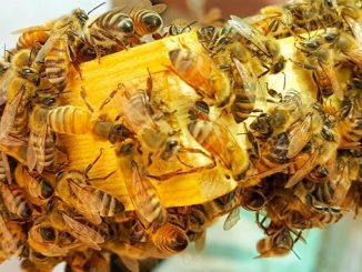 დედა, ფუტკარი, მეფუტკრეობა