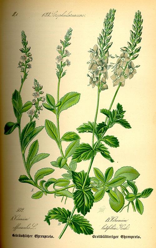 დედოფლისთითა, ონჯახუა, სამკურნალო, მცენარე