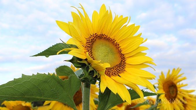მზესუმზირა