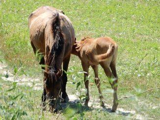 ცხენი, ქართული
