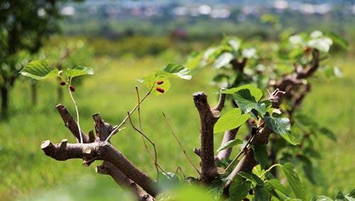თუთის, ხეები, თუთა, ჯიღაურა