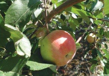 ანგოლდი, ვაშლის, ჯიში