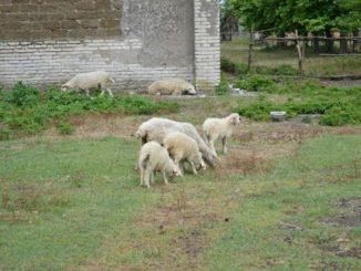 იმერული, ცხვარი, გენოფონდი