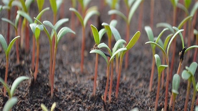 სინათლის, ნაკლებობა, მცენარეებში