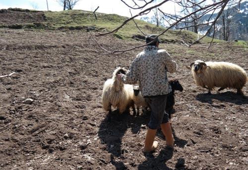 ჰემშირული, ცხვარი, აჭარაში