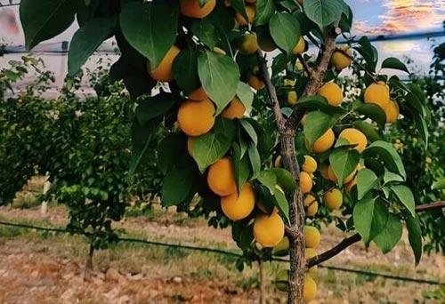 ხეხილის, ბაღი, გარგარი, ალუბალი, ვაშლი