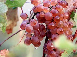 რთველი, ყურძენი