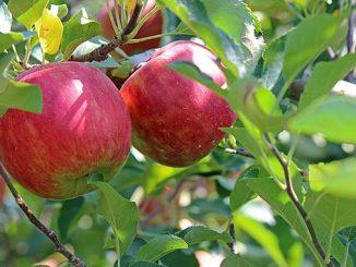 ვაშლის, მოსავლის, აღება