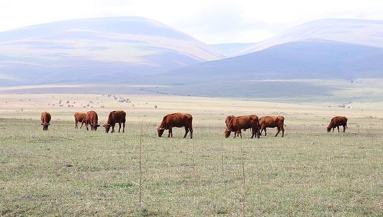 ძროხა, ფერმა, ჯიში, სალერსი
