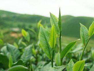 ჩაი, მწვანე, ოქრო, ქართული