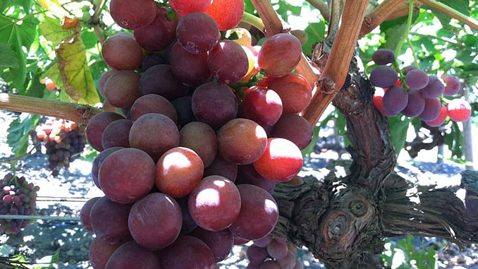 სუფრის, ყურძენი, ექსპორტი