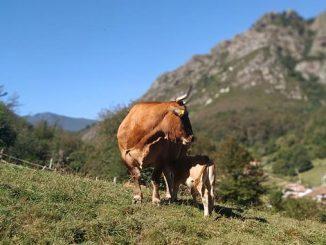 ძროხა, ფერმერული, მეურნეობა, წარმოება