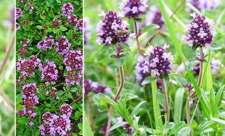 ბეგქონდარა – თაფლოვანი და სამკურნალო მცენარე