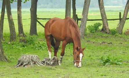 ცხენის კვება – კომბინირებული კვების ნორმები და რეცეპტები