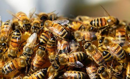 დედა ფუტკრების ხელოვნური გამოყვანა – რამდენიმე მეთოდი