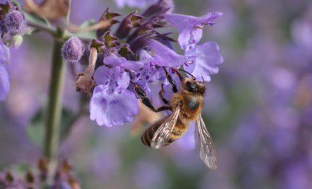ფუტკრის კვება