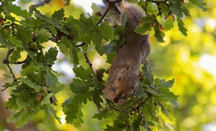 მუხა (Quercus) სამკურნალო მცენარე, რეცეპტი